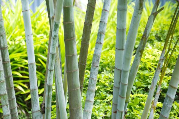 Bambù isolato su un verde