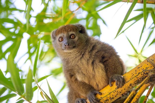 Un lemure di bambù si siede su un ramo e osserva i visitatori del parco nazionale.