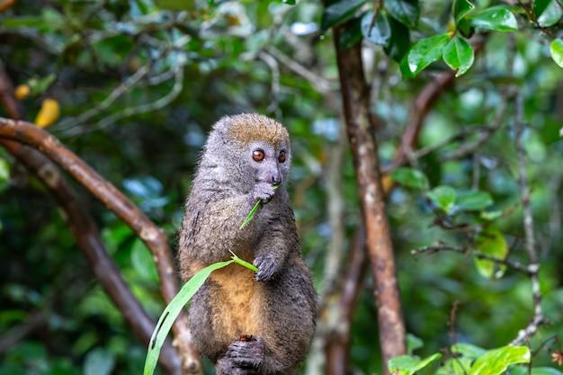 Lemure di bambù con un filo d'erba su un ramo