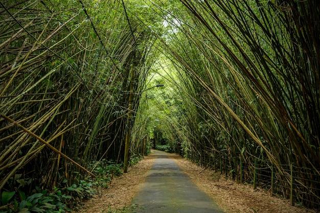 Alberi di bambù sovrastano la strada.
