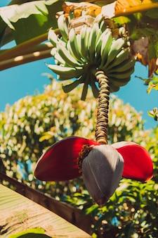 Fiore della banana sull'azienda agricola in primavera