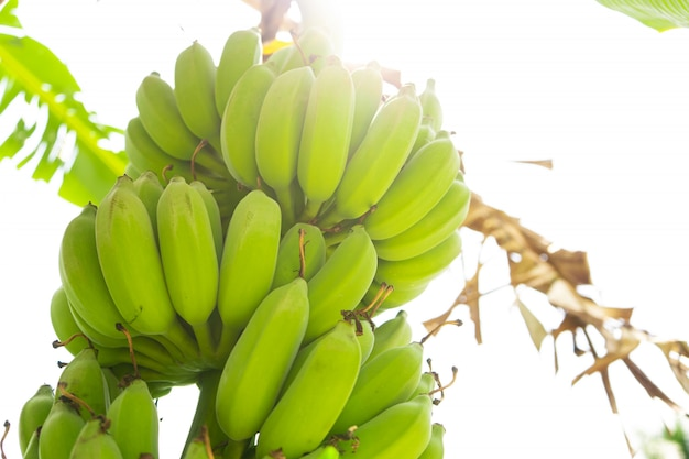 Ramo di frutti di banana. le banane verdi pendono su un albero