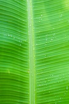 Foglia di banana close up sfondo luminoso con gocce d'acqua