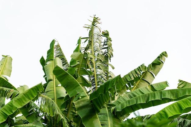 Foglie di banana su sfondo bianco isolato.