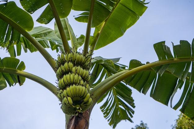 Palma da banana con grappoli di banane verdi su un ramo in thailandia