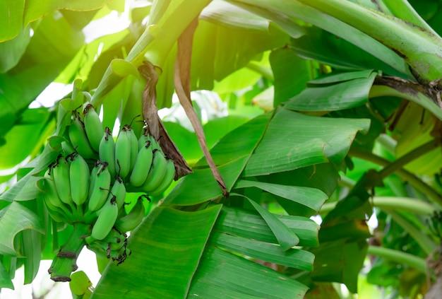 Banano con il mazzo di banane verdi crude e le foglie verdi della banana. piantagione di banane coltivata.