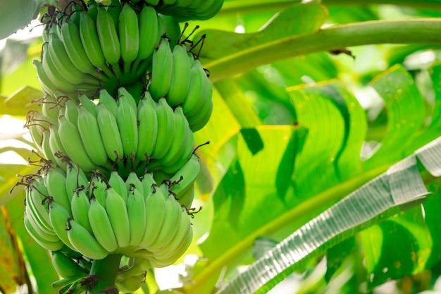 Banano con il mazzo di banane verdi crude e le foglie verdi della banana