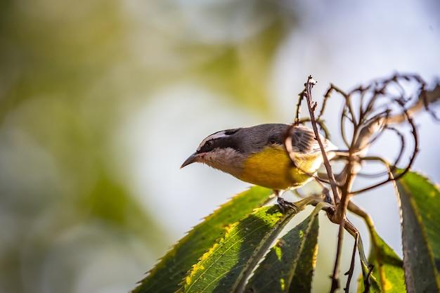 Uccello di cambacica dell'aka di bananaquits (coereba flaveola) che sta su un albero nella campagna del brasile