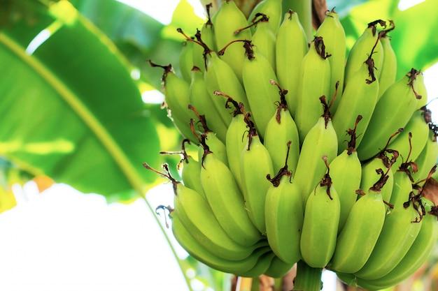 Banane sugli alberi con luce solare.
