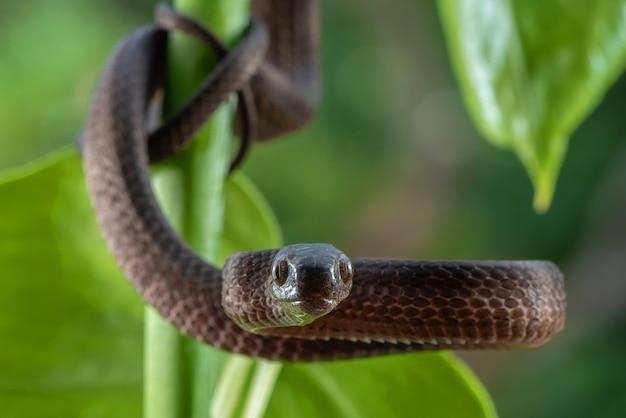 Bandend keeled slug snake, pareas carinatus