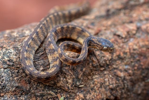 Serpente lumaca con chiglia bandend