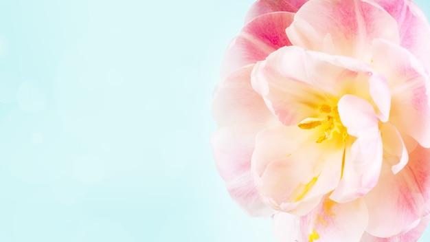 Banner da solo tulipano rosa su sfondo blu con copia spazio per carta.