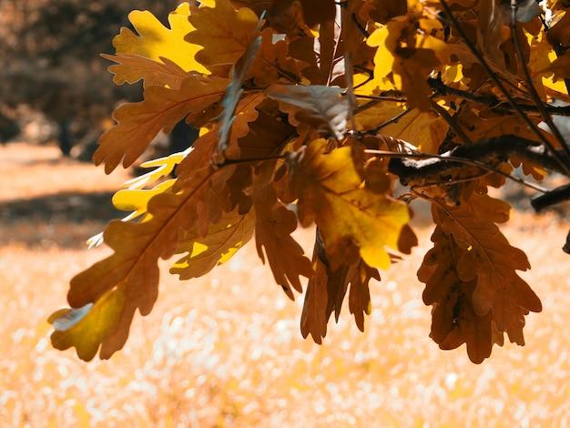 Banner foglie di quercia autunnale con uno sfondo sfocato per il design, foglie gialle con un bagliore sul ramo.