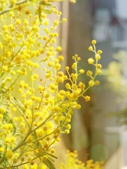 Banner mimosa giallo brillante fiori.