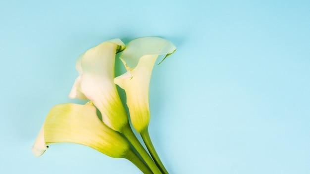 Banner calla lily flowers girato in studio su sfondo blu, copia spazio cartolina.