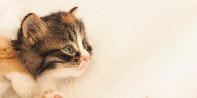 Banner di un simpatico gattino tricolore lanuginoso con gli occhi verdi sdraiato su uno sfondo bianco e guardando di lato. copia spazio.
