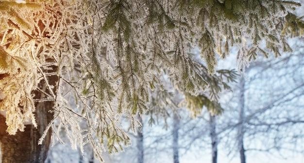 Banner con rami di abete invernale alla luce del sole da vicino