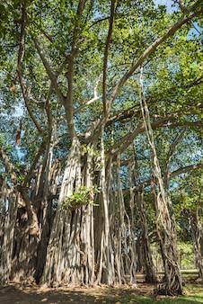 Albero di banyan in ala moana beach park, honolulu, hawaii