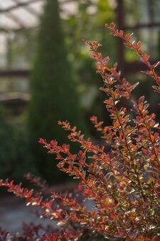 Un cespuglio di crespino nei raggi del sole al tramonto da vicino