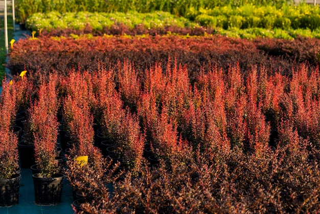 Arbusti di crespino per giardinaggio paesaggistico e piantati in vasche all'aperto nel garden center