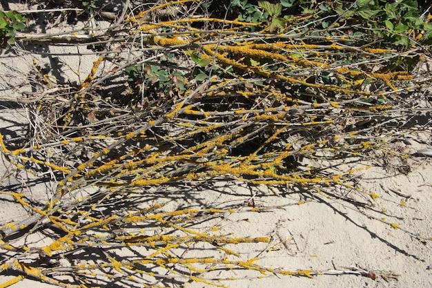 Rami spogli di ciliegi selvatici su una duna di sabbia nel mar baltico