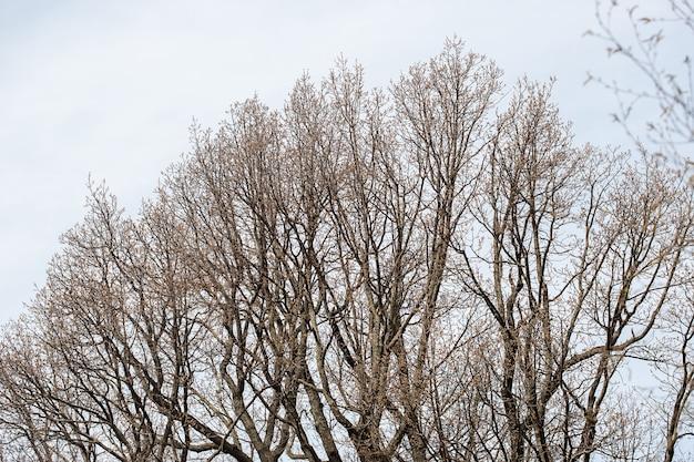 Rami di alberi nudi su uno sfondo grigio blu opaco di cielo primaverile con messa a fuoco selettiva