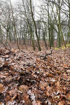 Nudi tronchi di alberi che crescono nella foresta nella stagione autunnale. sul terreno è scurito il fogliame arancione. primo piano della foto in tempo nuvoloso