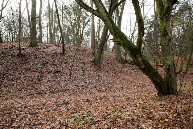 I tronchi spogli degli alberi che crescono nella foresta nella stagione autunnale.