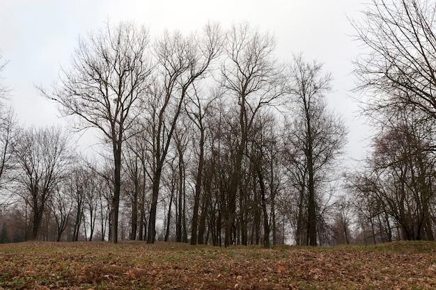 I tronchi spogli degli alberi nel parco nel tardo autunno. gli alberi crescono su una collina. per terra giacciono le foglie cadute. sullo sfondo del cielo azzurro.