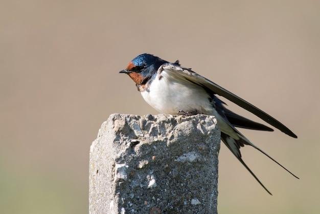Barn swallow hirundo rustica seduto su un pilastro di cemento