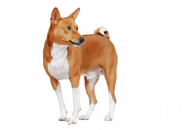 Cane basenji in bianco che guarda indietro all'area dello spazio della copia con una smorfia che abbaia