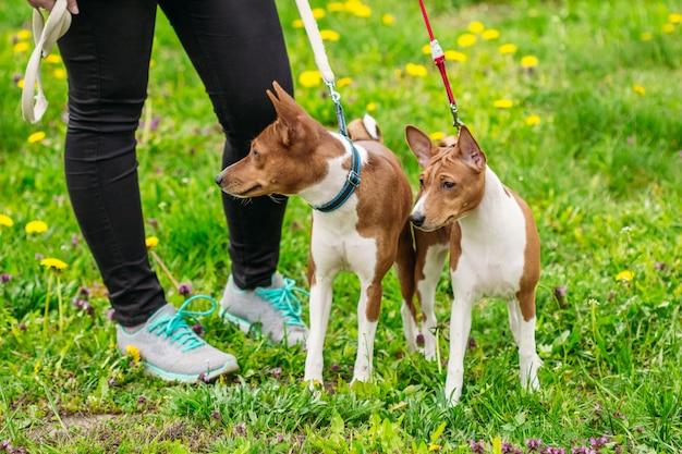 Cani basenji sull'erba verde nel campo