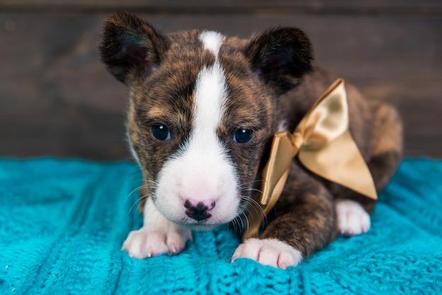 Basenji cucciolo di cane con grande fiocco dorato