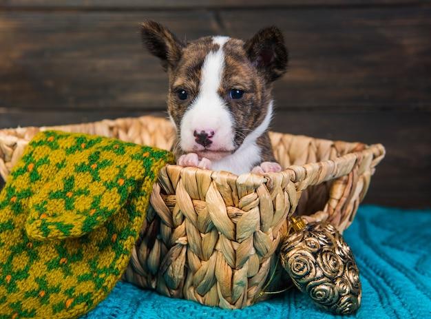 Basenji cucciolo di cane in un cestino di legno con cuore