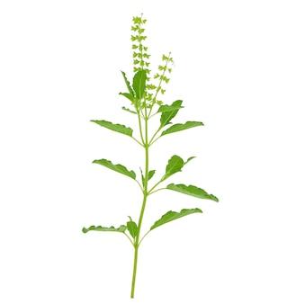 Fiore, gambo e foglie del basilico isolati
