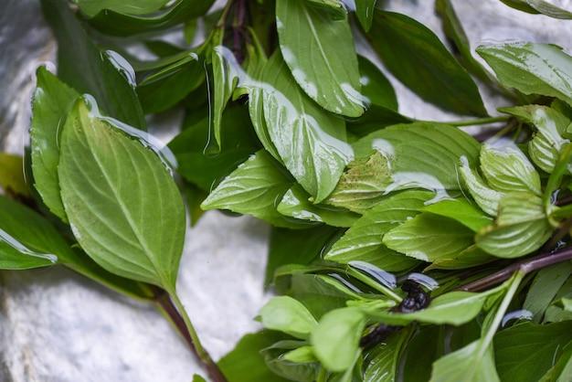 Foglia di basilico su acqua, basilico tailandese per alimenti vegetali ed erbe aromatiche