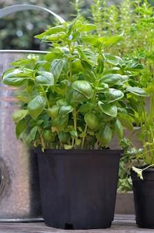 Basilico in vaso con altre piante aromatiche nel patio