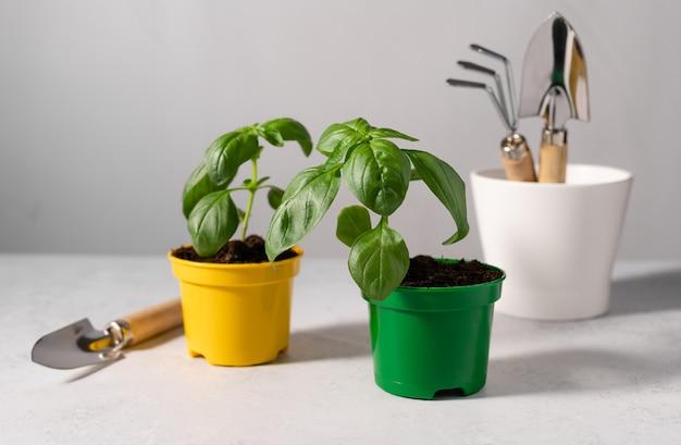 Piantine di basilico in vasi di plastica e attrezzi da giardinaggio
