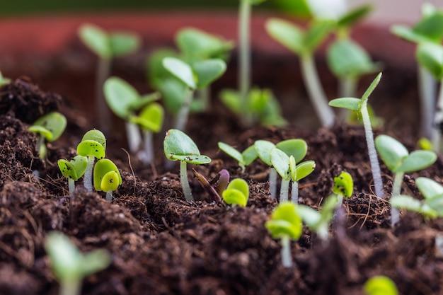 I germogli di basilico sono germogliati nel terreno