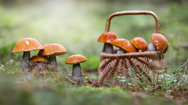 Cesto pieno di funghi commestibili nella natura estiva.