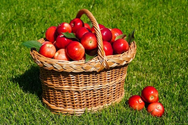 Cesto pieno di mele rosse mature su erba verde che raccolgono mele sparse e frutti biologici freschi dell'azienda agricola