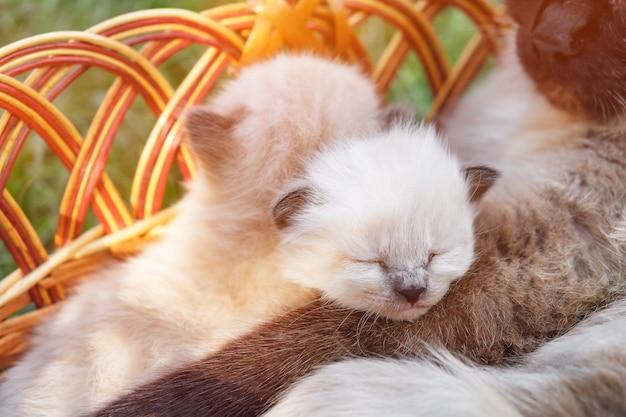 Cestino con gattini e mamma gatta.