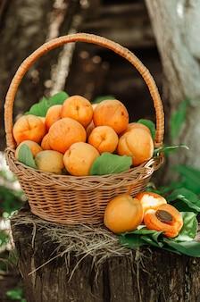 Cestino con grandi albicocche mature su una canapa in giardino. stile di vita rurale. prodotti naturali di produzione propria.
