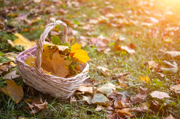 Un cesto con foglie d'acero autunnali gialle si erge sull'erba arrabbiata al sole, spazio copia da vicino