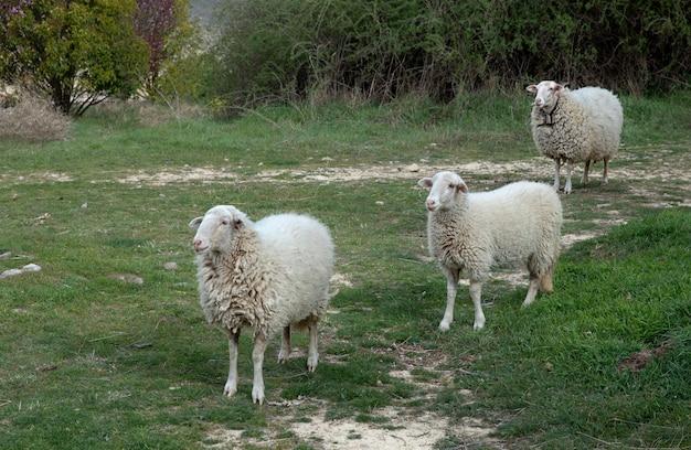 Pecore basche