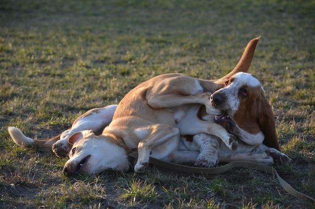 Basset hound che gioca con un altro cane