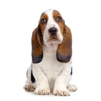Cucciolo di basset hound - ritratto del cane dei cuccioli di silenzio isolato