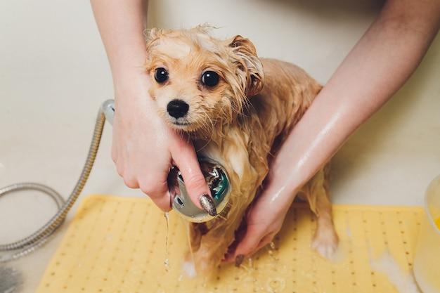 Fare il bagno al cane nel parrucchiere pomeranian.