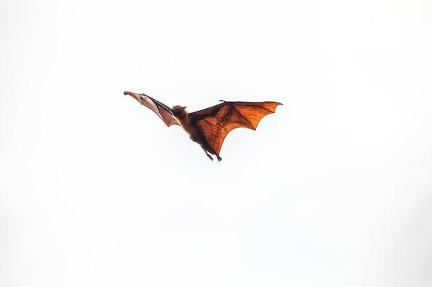I pipistrelli volano