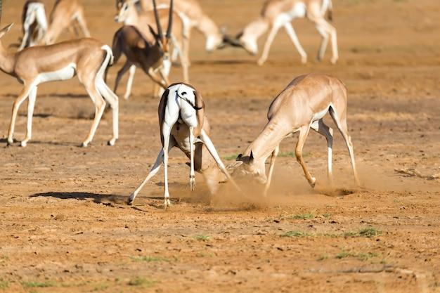 La battaglia di due grant gazelle nella savana del kenya